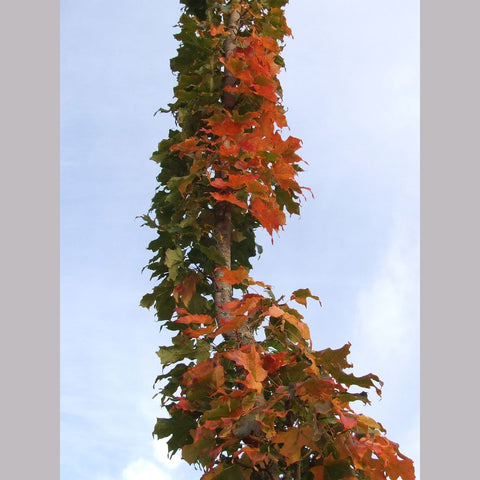 Trees ~ Acer saccharum 'Monumentale', Columnar Sugar Maple ~ Dancing Oaks Nursery and Gardens ~ Retail Nursery ~ Mail Order Nursery