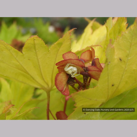 Trees ~ Acer shirasawanum 'Aureum', Golden Full Moon Maple ~ Dancing Oaks Nursery and Gardens ~ Retail Nursery ~ Mail Order Nursery