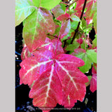 Trees ~ Acer triflorum, Three-flowered Maple ~ Dancing Oaks Nursery and Gardens ~ Retail Nursery ~ Mail Order Nursery