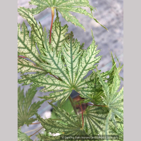 Trees ~ Acer palmatum 'Ariadne', Japanese Maple ~ Dancing Oaks Nursery and Gardens ~ Retail Nursery ~ Mail Order Nursery