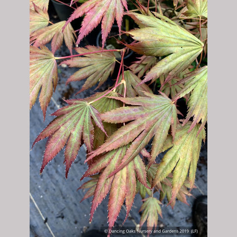 Trees ~ Acer shirasawanum 'Johin', Johin Full Moon Maple ~ Dancing Oaks Nursery and Gardens ~ Retail Nursery ~ Mail Order Nursery