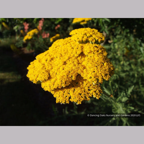 Perennials ~ Achillea filipendulina 'Gold Plate', Gold Plate Yarrow ~ Dancing Oaks Nursery and Gardens ~ Retail Nursery ~ Mail Order Nursery