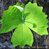Perennials ~ Achlys triphylla, Vanilla Leaf ~ Dancing Oaks Nursery and Gardens ~ Retail Nursery ~ Mail Order Nursery
