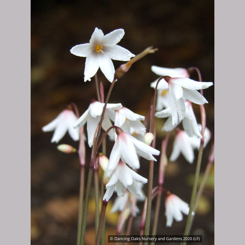 Bulbs & Tubers ~ Acis autumnalis (syn. Leucojum autumnale), Autumn Snowflake ~ Dancing Oaks Nursery and Gardens ~ Retail Nursery ~ Mail Order Nursery