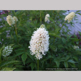Perennials ~ Actaea pachypoda, Doll's Eyes ~ Dancing Oaks Nursery and Gardens ~ Retail Nursery ~ Mail Order Nursery