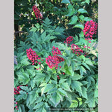 Perennials ~ Actaea rubra, Red Baneberry ~ Dancing Oaks Nursery and Gardens ~ Retail Nursery ~ Mail Order Nursery