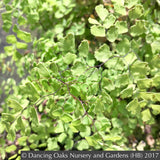 Ferns ~ Adiantum x mairisii, Mairis's Maidenhair Fern ~ Dancing Oaks Nursery