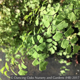 Ferns ~ Adiantum x mairisii, Mairis's Maidenhair Fern ~ Dancing Oaks Nursery and Gardens ~ Retail Nursery ~ Mail Order Nursery