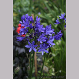 Perennials ~ Agapanthus 'Moonlight Star' PP25401, Nile Lily ~ Dancing Oaks Nursery and Gardens ~ Retail Nursery ~ Mail Order Nursery