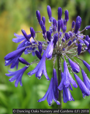 Perennials ~ Agapanthus 'Storm Cloud', Nile Lily ~ Dancing Oaks Nursery and Gardens ~ Retail Nursery ~ Mail Order Nursery