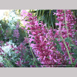 Perennials ~ Agastache 'Ava', Mexican Hyssop ~ Dancing Oaks Nursery and Gardens ~ Retail Nursery ~ Mail Order Nursery