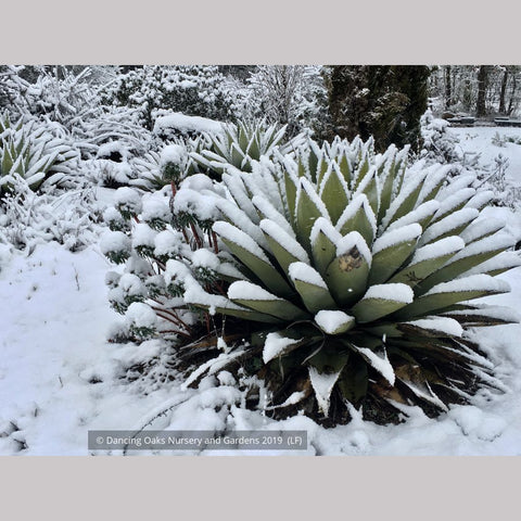 Perennials ~ Agave parryi, Parry's Agave ~ Dancing Oaks Nursery and Gardens ~ Retail Nursery ~ Mail Order Nursery