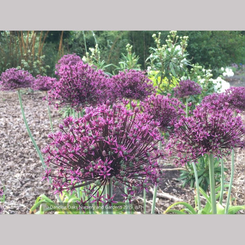 Bulbs & Tubers ~ Allium 'Miami', Ornamental Onion ~ Dancing Oaks Nursery and Gardens
