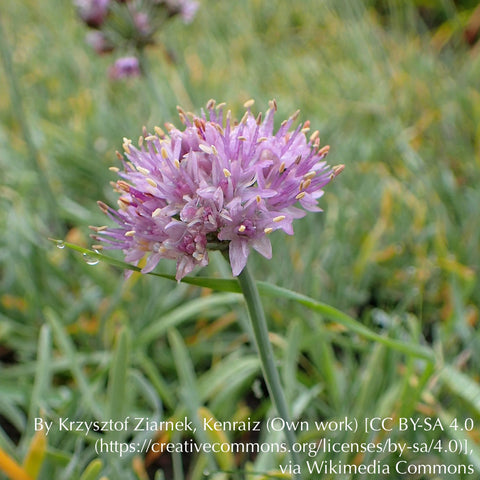 Bulbs & Tubers - Allium senescens subsp. glaucum, German Onion or German Garlic - Dancing Oaks Nursery