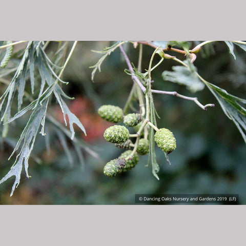 Trees ~ Alnus glutinosa 'Imperialis', Cutleaf European Alder ~ Dancing Oaks Nursery and Gardens ~ Retail Nursery ~ Mail Order Nursery