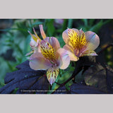 Bulbs & Tubers ~ Alstroemeria 'Butterscotch', Peruvian Lily ~ Dancing Oaks Nursery and Gardens