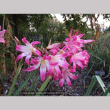Bulbs & Tubers ~ Amaryllis belladonna - Striped Pink Hybrids, Naked Ladies ~ Dancing Oaks Nursery and Gardens ~ Retail Nursery ~ Mail Order Nursery