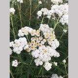 Perennials ~ Anaphalis margaritacea, Pearly Everlasting ~ Dancing Oaks Nursery and Gardens ~ Retail Nursery ~ Mail Order Nursery