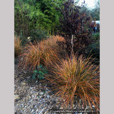 Grasses ~ Anemanthele lessoniana (syn. Stipa lessoniana), Pheasant Grass ~ Dancing Oaks Nursery and Gardens ~ Retail Nursery ~ Mail Order Nursery
