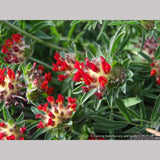 Perennials ~ Anthyllis vulneria ssp coccinea, Kidney Vetch ~ Dancing Oaks Nursery and Gardens ~ Retail Nursery ~ Mail Order Nursery