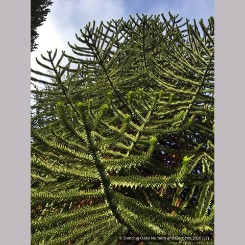 Trees ~ Araucaria araucana, Monkey Puzzle Tree ~ Dancing Oaks Nursery and Gardens ~ Retail Nursery ~ Mail Order Nursery