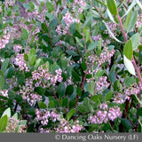 Shrubs ~ Arctostaphylos x densiflora 'Austin Griffiths', Manzanita ~ Dancing Oaks Nursery and Gardens ~ Retail Nursery ~ Mail Order Nursery