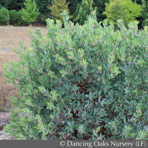 Shrubs - Arctostaphylos columbiana 'Blue River', Manzanita - Dancing Oaks Nursery