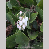 Shrubs ~ Arctostaphylos manzanita 'Hood Mountain', Manzanita ~ Dancing Oaks Nursery and Gardens ~ Retail Nursery ~ Mail Order Nursery