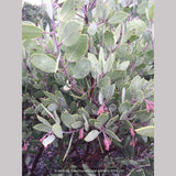 Shrubs ~ Arctostaphylos bakeri 'Louis Edmunds', Manzanita ~ Dancing Oaks Nursery and Gardens ~ Retail Nursery ~ Mail Order Nursery