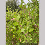 Shrubs ~ Arctostaphylos manzanita 'Upstanding', Manzanita ~ Dancing Oaks Nursery and Gardens ~ Retail Nursery ~ Mail Order Nursery