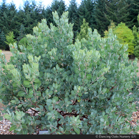 Shrubs - Arctostaphylos columbiana 'Windy Point' (FLN12), Hairy Manzanita - Dancing Oaks Nursery