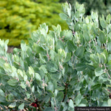 Arctostaphylos columbiana 'Windy Point' (FLN12), Hairy Manzanita