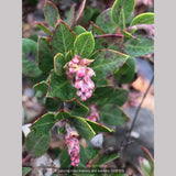 Shrubs ~ Arctostaphylos x 'Greensphere', Manzanita ~ Dancing Oaks Nursery and Gardens ~ Retail Nursery ~ Mail Order Nursery