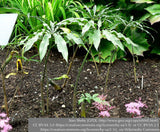 Bulbs & Tubers ~ Arisaema consanguineum, Himalayan Cobra Lily ~ Dancing Oaks Nursery and Gardens ~ Retail Nursery ~ Mail Order Nursery