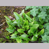 Bulbs & Tubers ~ Arisarum proboscideum, Mouse Tails ~ Dancing Oaks Nursery and Gardens ~ Retail Nursery ~ Mail Order Nursery