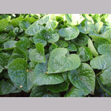 Perennials ~ Asarum caudatum, Native Ginger ~ Dancing Oaks Nursery and Gardens ~ Retail Nursery ~ Mail Order Nursery