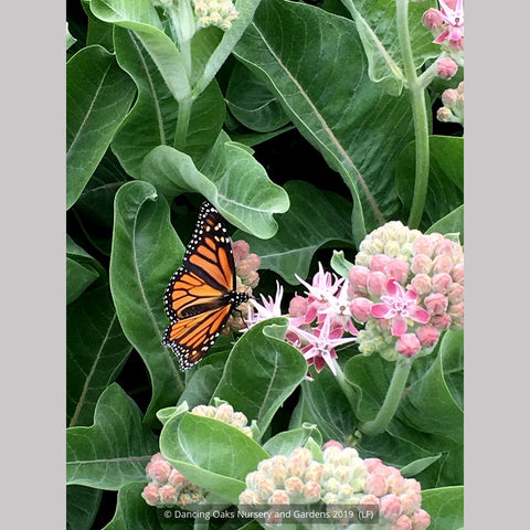 Perennials ~ Asclepias speciosa, Showy Milkweed ~ Dancing Oaks Nursery and Gardens