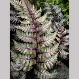 Athyrium niponicum 'Ursula's Red', Japanese Painted Fern - Dancing Oaks Nursery and Gardens