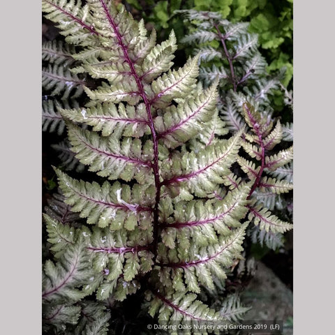 Ferns ~ Athyrium niponicum 'Ursula's Red', Japanese Painted Fern ~ Dancing Oaks Nursery and Gardens ~ Retail Nursery ~ Mail Order Nursery