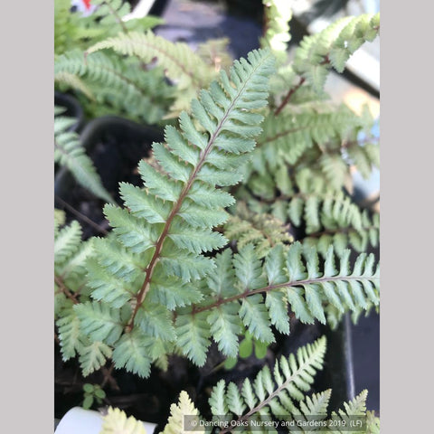 Ferns ~ Athyrium niponicum 'Regal Red', Japanese Painted Fern ~ Dancing Oaks Nursery and Gardens ~ Retail Nursery ~ Mail Order Nursery