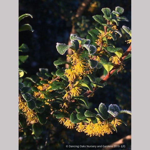 Trees ~ Azara microphylla, Boxleaf Azara/Chin chin/Vanilla Tree ~ Dancing Oaks Nursery and Gardens ~ Retail Nursery ~ Mail Order Nursery