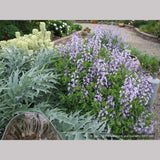 Perennials ~ Baptisia 'Purple Smoke', False Indigo ~ Dancing Oaks Nursery and Gardens ~ Retail Nursery ~ Mail Order Nursery