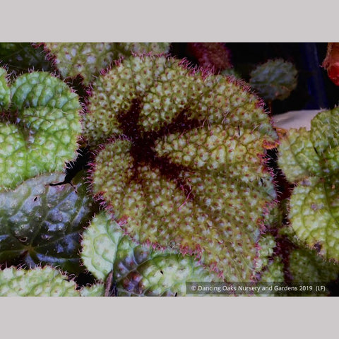Perennials ~ Begonia masoniana, Iron Cross Begonia ~ Dancing Oaks Nursery and Gardens ~ Retail Nursery ~ Mail Order Nursery