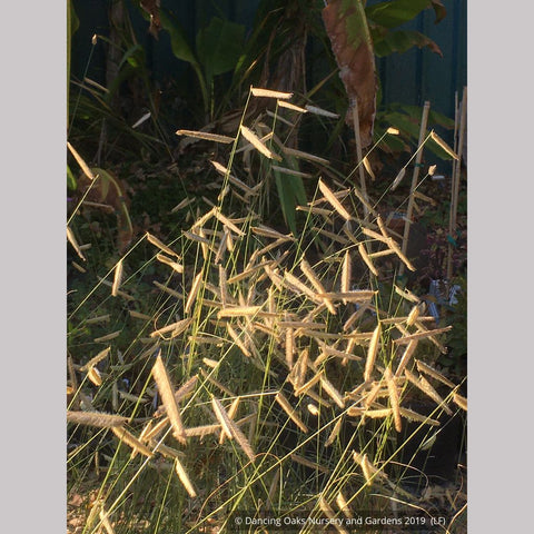 Grasses ~ Bouteloua gracilis 'Blonde Ambition', Blue Grama Grass ~ Dancing Oaks Nursery and Gardens ~ Retail Nursery ~ Mail Order Nursery