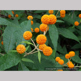 Shrubs ~ Buddleia globosa, Chilean Orange Ball Tree ~ Dancing Oaks Nursery and Gardens ~ Retail Nursery ~ Mail Order Nursery