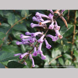 Shrubs ~ Buddleia lindleyana, Japanese Butterfly Bush ~ Dancing Oaks Nursery and Gardens ~ Retail Nursery ~ Mail Order Nursery
