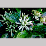 Shrubs ~ Calycanthus floridus 'Athens', Athens Sweet Shrub ~ Dancing Oaks Nursery and Gardens ~ Retail Nursery ~ Mail Order Nursery