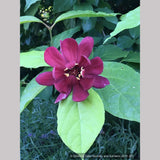 Shrubs ~ Calycanthus x raulstonii 'Hartlage Wine', Sweetshrub ~ Dancing Oaks Nursery and Gardens ~ Retail Nursery ~ Mail Order Nursery