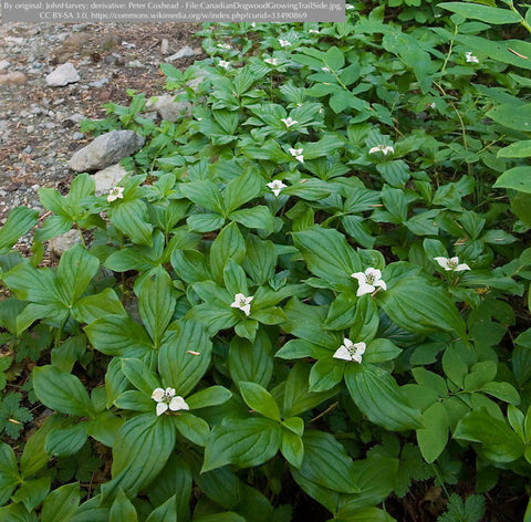 Ground Covers ~ Cornus canadensis, Creeping Dogwood or Bunchberry ~ Dancing Oaks Nursery