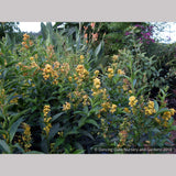 Perennials ~ Cestrum 'Orange Peel', Night-blooming Jasmine or Willow Jessamine ~ Dancing Oaks Nursery and Gardens ~ Retail Nursery ~ Mail Order Nursery